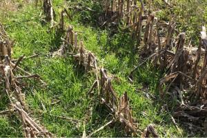 Illinois: rośliny okrywowe poprawiają mikrobiom gleby