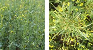 Uszkodzenia herbicydowe