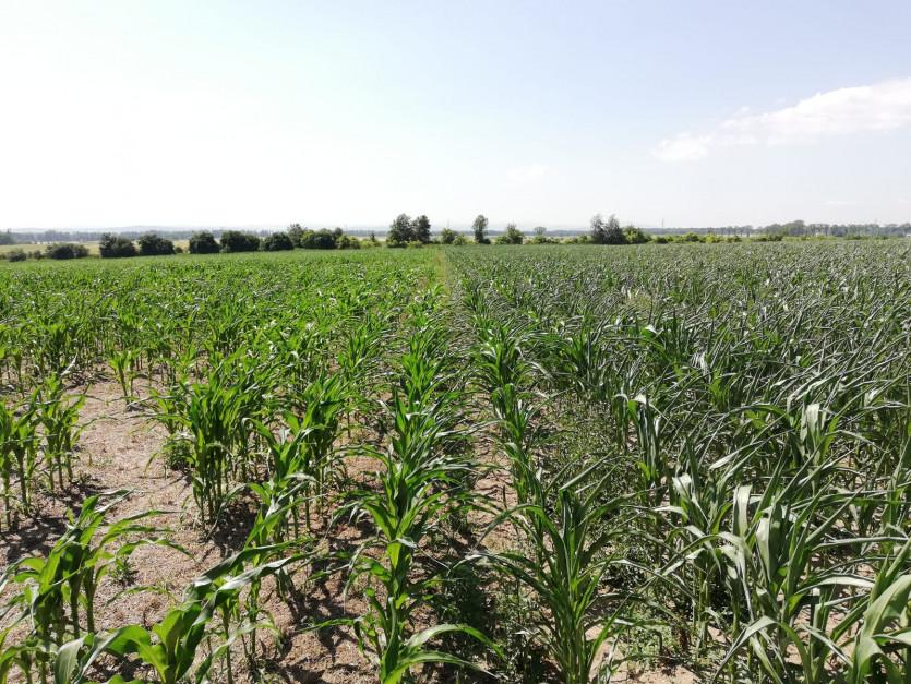 Po lewej siew bezpośredni, po prawej - uprawa tradycyjna. Pola obsiano taką samą odmianą kukurydzy i nawożono w taki sam sposób. Siew roślin w okrywę z żyto spowodował, że gleba dłużej utrzymywała wilgoć i ograniczono zachwaszczenie. fot. M. Gniatkowski.