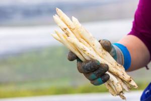 Wysokie ceny szparagów w Niemczech