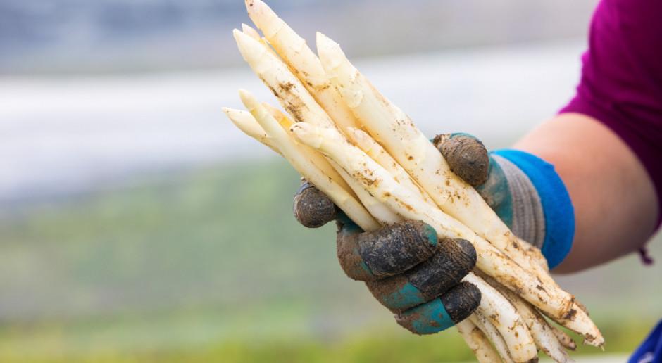 Niemieccy producenci szparagów nie wiedzą, czy pracownicy z Polski dojadą na zbiory