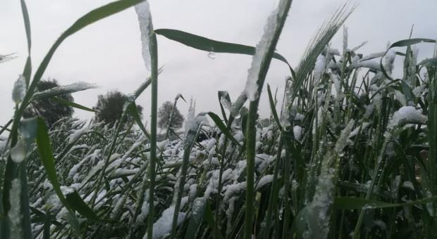 Uprawy pod śniegiem – jak to wpłynie na rośliny?