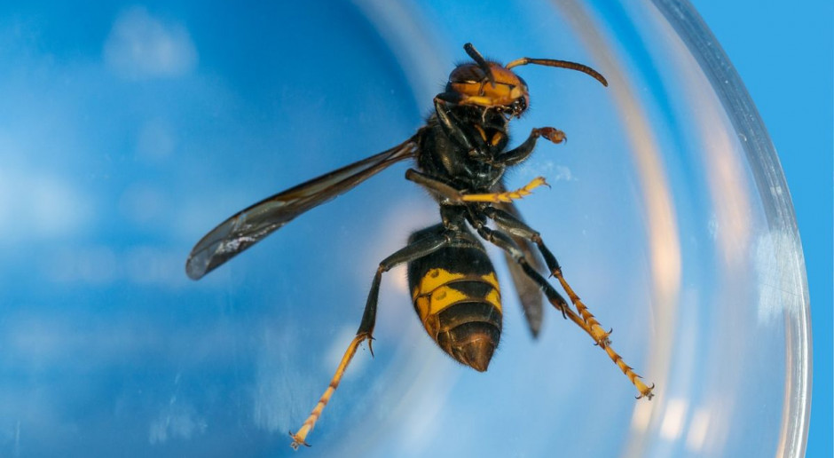 Szerszenie azjatyckie sieją śmierć  - po ukąszeniu zmarł pszczelarz