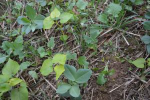 Rzepak z roślinami towarzyszącymi w uprawie zerowej