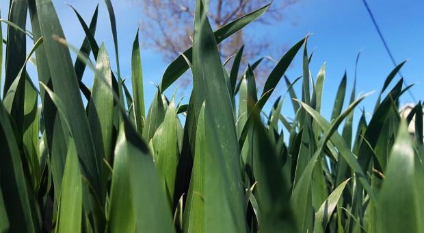 Regulacja zbóż w fazie liścia flagowego - tak czy nie?