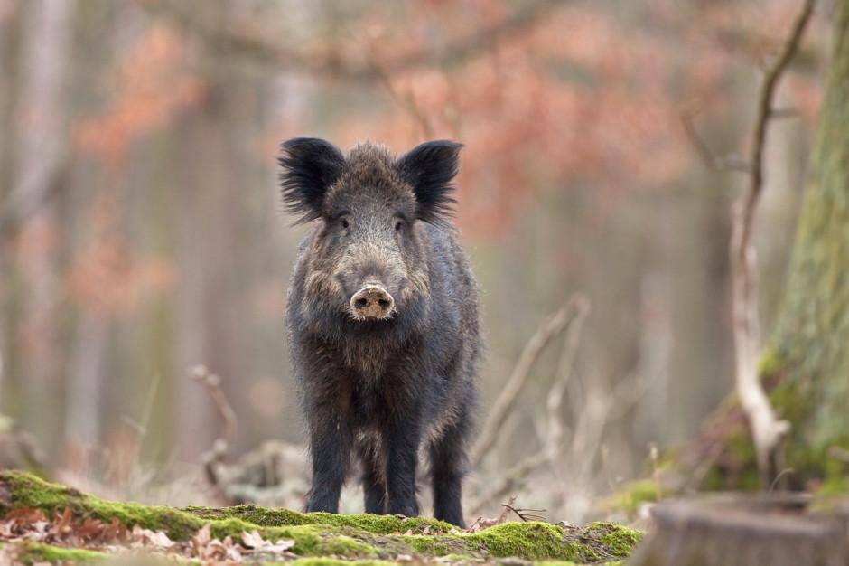 Przy gigantycznej presji ASF wpopulacji dzików jedyną nadzieją, jeśli chodzi oobronę naszych stad, jest ścisłe przestrzegania zasad ochrony biologicznej