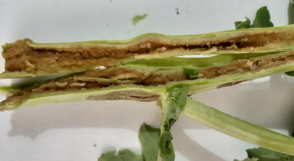 Chowacze łodygowe niszczą rośliny rzepaku