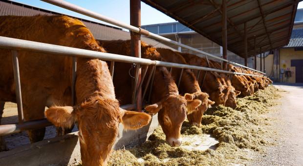 Aukcje bydła i rzeźnie rolnicze – perspektywa na bieżący rok