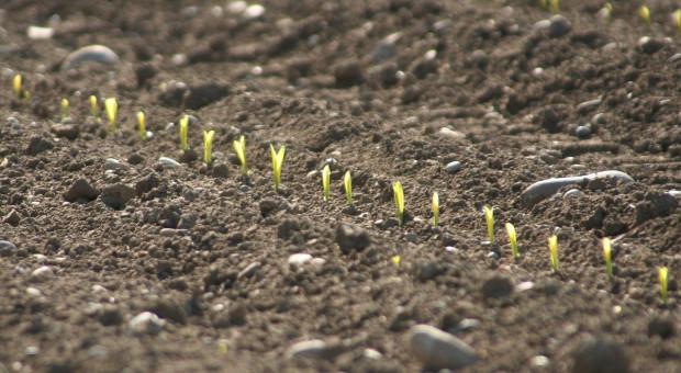 Francja: Więcej kukurydzy, mniej buraków cukrowych