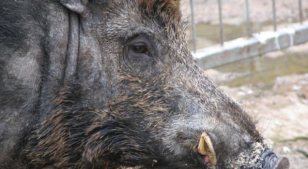 NIK: Dzikie zwierzę w mieście – zagrożenie, ale i potrzeba ochrony