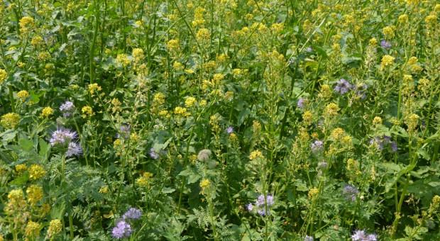 Mieszanki roślin miododajnych – pomoc dla zapylaczy