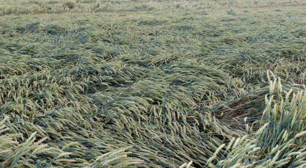 Elastyczność stosowania regulatorów wzrostu zbóż