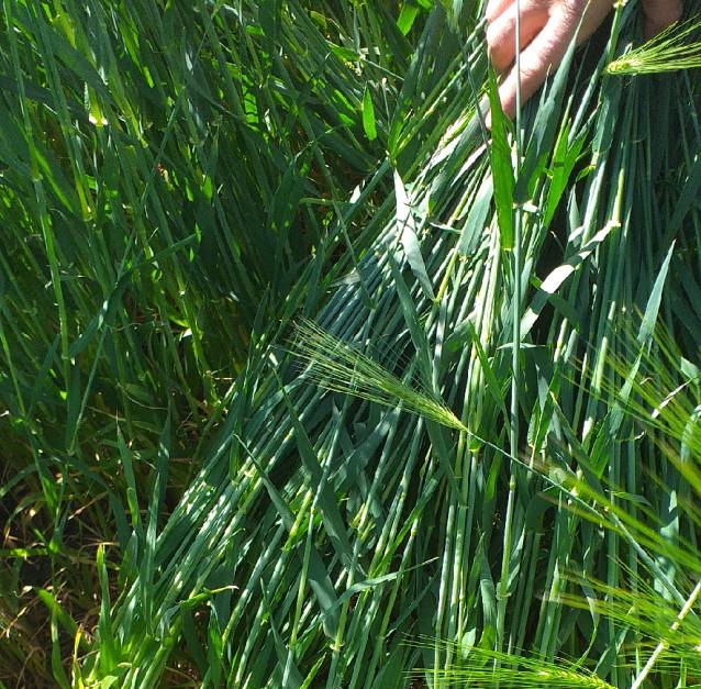 Dzięki stosowanym rozwiązaniom udało się ograniczyć nawożenie mineralne i zużycie środków ochrony roślin.