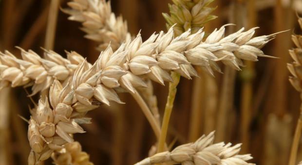Wzrost notowań pszenicy na światowych giełdach