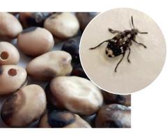 Chrząszcze strąkowca, opuszczając nasiona, w których rozwijały się przez okres larwalny, pozostawiają wygryziony, kolisty otwór