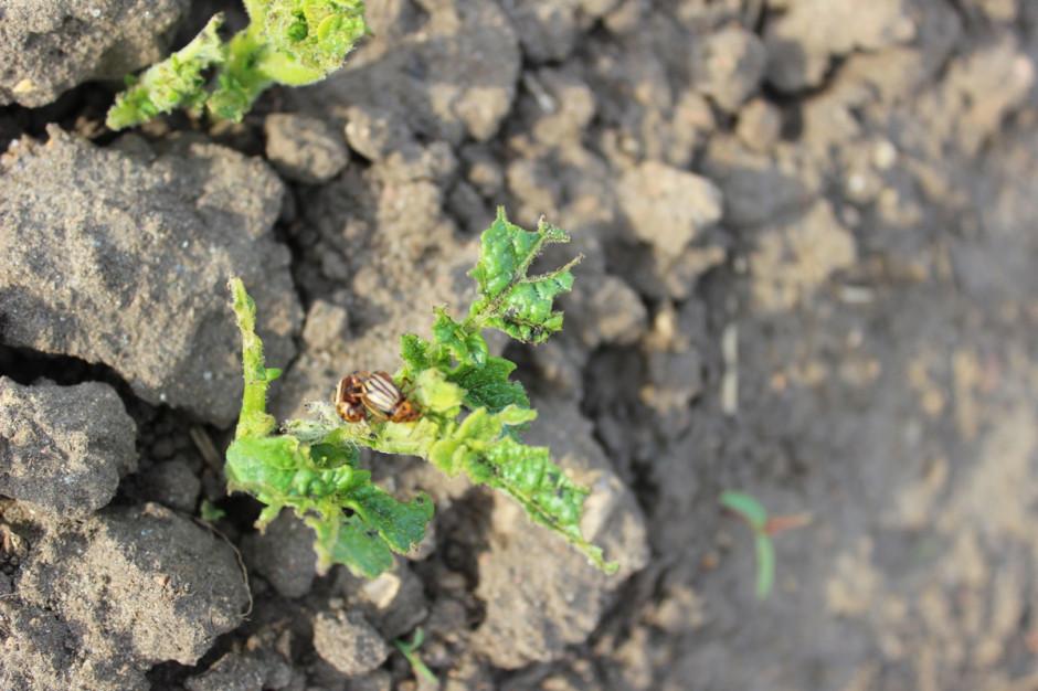 Masowe naloty chrząszczy w czasie wschodów ziemniaka bywają niebezpieczne Fot. A.Kobus