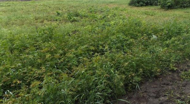 Plantator wpadł, bo pielił swoją uprawę nielegalnych konopi