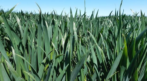 Kłoszenie pszenicy - jakie zabiegi jeszcze warto wykonać?