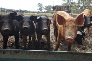 Nigeria: Nawet milion świń ubitych w wyniku ASF