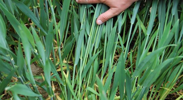 Wiosenna ocena stanu upraw: zdecydowanie mniej ozimych