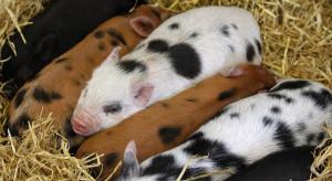 Teraz lubuskie bioasekuracyjnie wybija zdrowe świnie