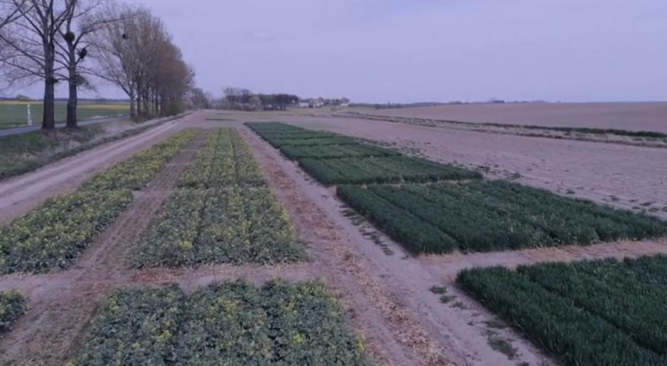 Ochrona herbicydowa rzepaku ozimego w Urbanowicach