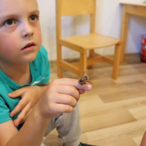 Białym krukiem kolekcji owadów jest szerszeń. Należy obchodzić się z nim ostrożnie, aby go nie uszkodzić. fot. Tomasz Kuchta