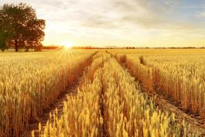 Zwyżka notowań zbóż na światowych giełdach