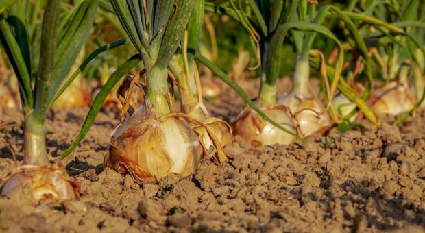 Złodziej cebuli złapany na gorącym uczynku