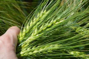 Wjęczmieniu dysponujemy odmianami opodwyższonej odporności m.in. na rynchosporiozę zbóż czy mączniaka prawdziwego zbóż itraw; Fot. Katarzyna Szulc