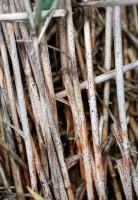 Pseudotecja Pyrenophora tritici-repentis tworzące się na wiosnę na źdźbłach z poprzedniego sezonu wegetacyjnego