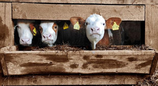 Rolnik oszukany przy sprzedaży zwierząt