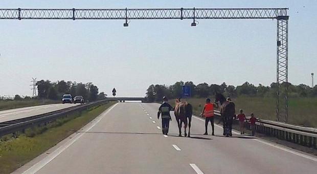 Policjanci i strażacy ratowali na autostradzie konie