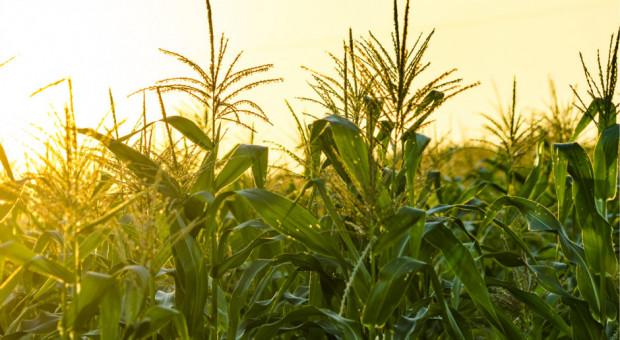 Kukurydza na MATIF najdroższa od ponad 4 miesięcy