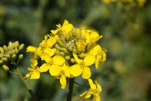 """Wrejonach zagrożonych występowaniem kiły kapusty do uprawy trzeba wybierać wyłącznie odmiany """"kiłoodporne"""""""