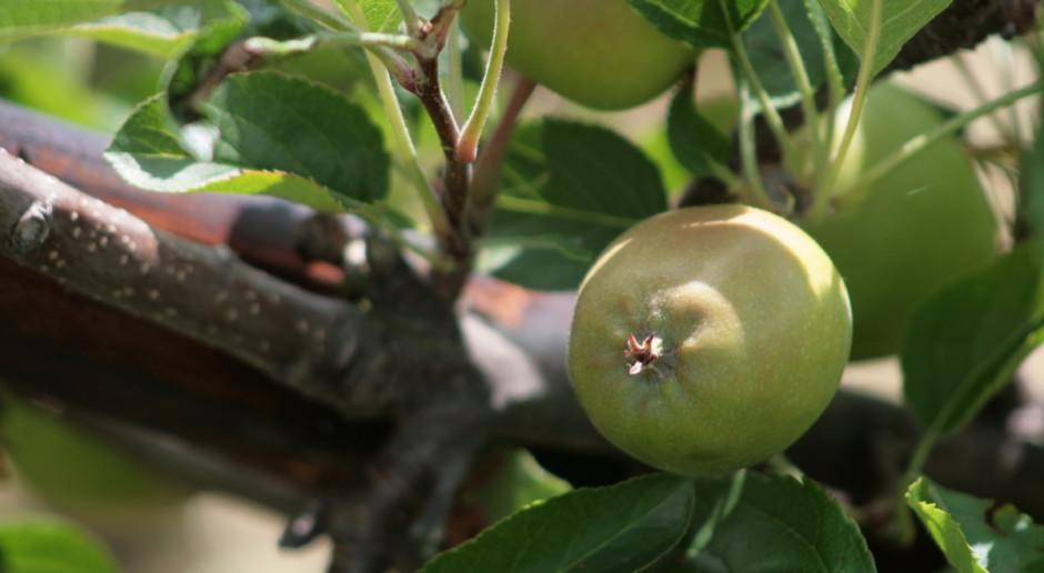 Zagrożona produkcja jabłek i gruszek w UE?