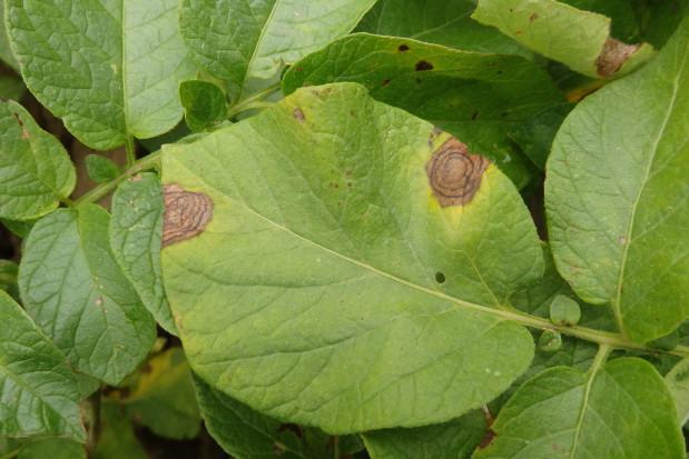 Zwalczanie zarazy i alternariozy ziemniaka