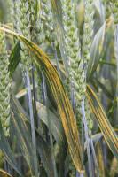 Sprawcy rdzy żółtej stanowią poważne zagrożenie dla dojrzewających kłosów pszenicy ozimej