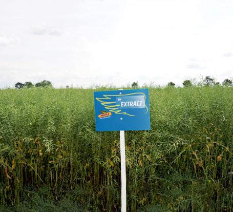 Rzepak - odmiany odporne  na suchą zgniliznę kapustnych