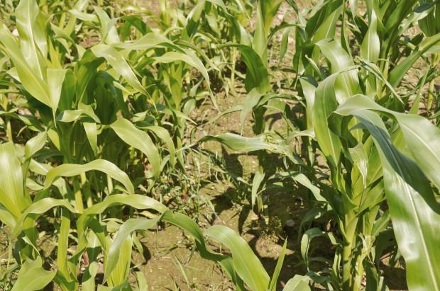Późne odchwaszczanie kukurydzy