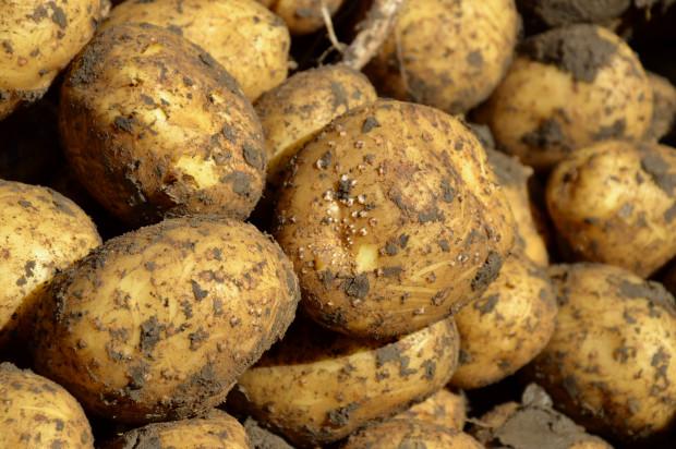 Najczęstsze błędy w zwalczaniu zarazy ziemniaka