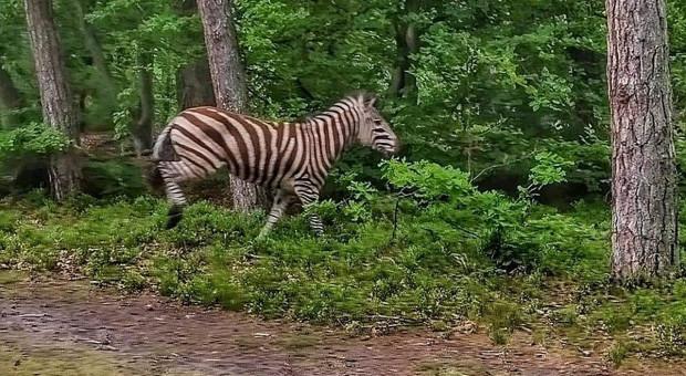 Leśnicy schwytali zebrę w lesie. Dowód na ocieplenie klimatu?