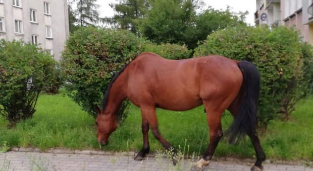 Policjanci eskortowali konia, który biegał samopas po mieście