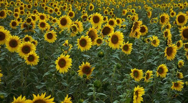 Ukraina: Lepsze perspektywy zbiorów słonecznika
