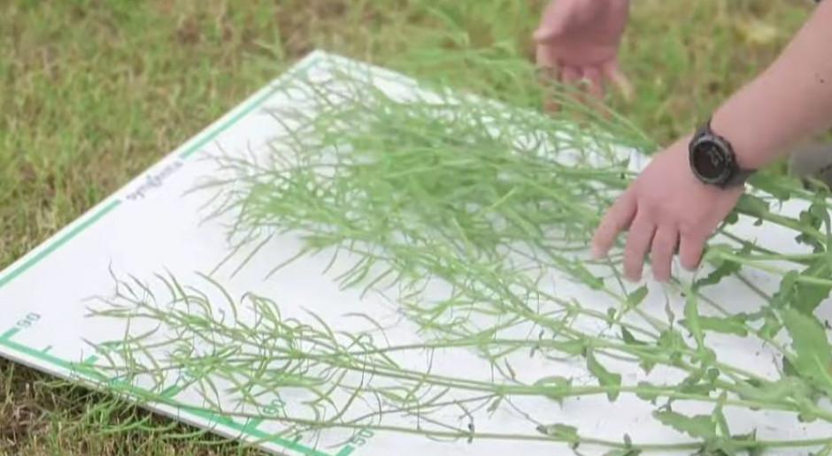 Aganos – nowa odmiana rzepaku ozimego