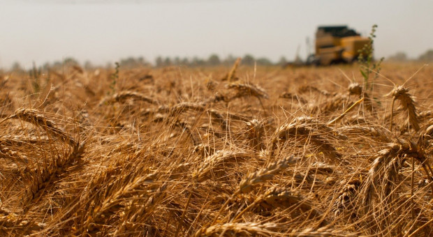 DRV: Zbiory zbóż w Niemczech mogą rozpocząć się w przyszłym tygodniu