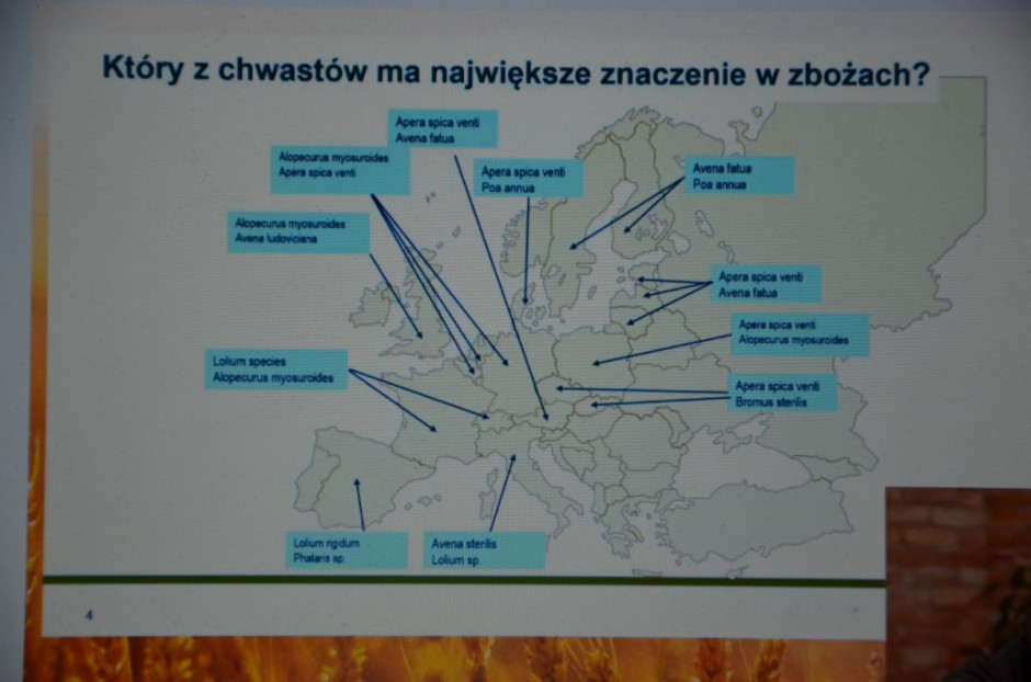W Polsce mamy największy problem z miotłą zbożową i wyczyńcem polnym