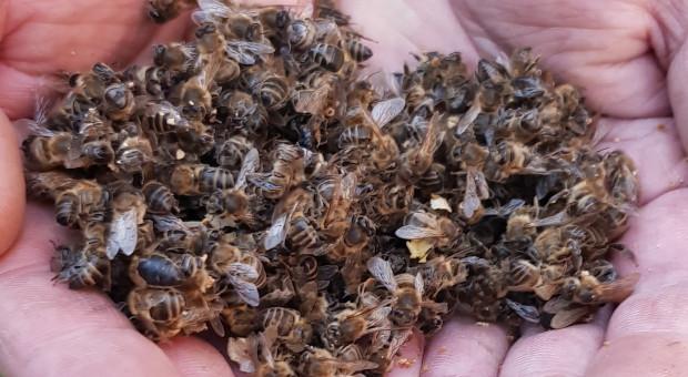 Szansa na naturalny lek z grzyba na chorobę zgnilca złośliwego pszczół