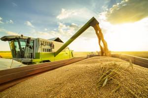 W żniwa uważaj na świeże ziarno zbóż
