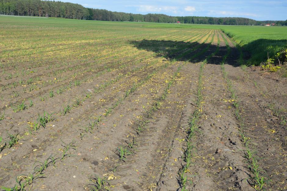 Kukurydza z uwagi na zimną i suchą wiosnę jest mniejsza, niż miało to miejsce w tym samym czasie w latach poprzednich (zdjęcie zostało wykonane na początku czerwca)